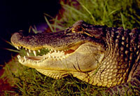 American alligator adult